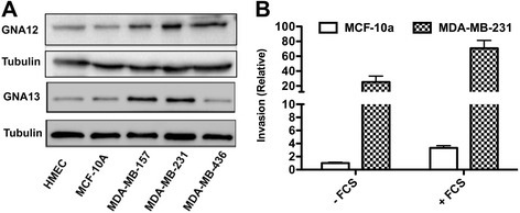 GNA12 and GNA13 are highly expressed in aggressive cancer cells. (A) Immunoblot showing the GNA12 and GNA13 protein expression in different breast cancer cell lines. Tubulin is used as loading control. (B) Basal and FCS-induced invasion of MCF-10a and MDA-MB-231 cells. All values are expressed as fold change relative to basal invasion of MCF-10a cells.