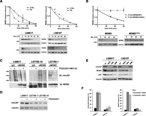 MDM2 is regulated post-translationally(A) LS8817 (left) and LS8107 (right) cells were treated with 1 μM PD0332991 for forty eight hours, and 75 μg/ml cycloheximide was added for the indicated times before proteins were extracted and amount of MDM2 measured by immunoblot. Tubulin is a loading control. Representative autoradiograms are shown below the graphs. (B) LS8817 cells were transduced with either a FLAG-tagged MDM2 or a FLAG-tagged C464A mutant of MDM2 as indicated and selected for five days. PD0332991 and cycloheximide were added as described in the legend to panel A. A representative immunoblot is shown and the graph was compiled from two independent experiments (mean + S.E.M.). (C) The indicated cell lines were treated with 1 μM PD0332991 for two days and 5μM MG132 added 2 hours prior to protein extraction. MDM2 was immunoprecipitated and HAUSP and MDM2 measured in the immunoprecipitate by immunoblot. IgG was used as a non-specific antibody control for the immunoprecipitation. (D) Proteins were extracted from asynchronously growing or cells treated with 1 μM PD0332991 for 2 days and the expression of HAUSP measured by immunoblot. Tubulin is a loading control. (E, F) The indicated cells were transduced with two different lentiviruses expressing shRNA targeting HAUSP or a scrambled control and selected for 10 days. All cells had exited the mitotic cycle. (E) Extracts were prepared and the accumulation of proteins detected by immunoblot. For comparison the effect of the MDM2 shM380 lentiviral knockdown is shown. (F) The accumulation of SA-β-gal and HP1γ positive cells was measured as described in other figures. This experiment was done twice with similar results.