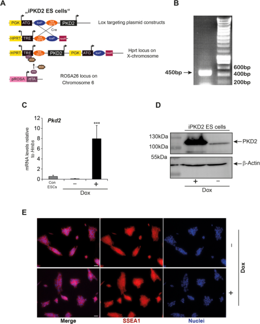 Generation of a conditional PKD2 allele in embryonic stem cells.(A) Schematic display of the strategy to generate a dose-dependent Dox-inducible PKD2 ESC line. (B) PCR band at 450 bp illustrates the correct recombination of the HPRT locus upon homologous cassette exchange. (C) mRNA levels of PKD2 upon Dox-stimulation of iPKD2 ES cells vs. control mES cells (A2lox.cre cell line) (D) Western blot of PKD2 upon Dox-stimulation of iPKD2 ES cells. (E) Immunostaining of SSEA1 upon Dox induced PKD2 overexpression. Note unaltered expression of SSEA1. qPCRs were performed n = 3 in replicates. Western Blots and immunostaining experiments were performed three times. Scale bars 20 μm.