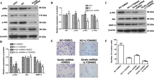 Girdin regulates glioma cell migration and invasion via the PI3K-Akt signaling pathway. (A and B) Western blot analysis was performed to detect changes in the levels of p85α, p110α, p-Akt and Akt following transfection with girdin shRNA. (C and D) Western blot analysis was performed to detect the effects of girdin silencing on the protein levels of p-Akt, Akt and MMP-9 following treatment with LY294002. (E and F) A Transwell invasion assay was performed to detect the effect of girdin silencing on cell invasion following treatment with LY294002. Images were captured under a light microscope (magnification, ×200). Each experiment was repeated three times. The experimental results are presented as the mean ± standard deviation. **P<0.01, compared with the negative control. shRNA, short hairpin RNA; NC, negative control; DMSO, dimethyl sulfoxide; MMP, matrix metalloproteinase; Akt, protein kinase B; p-, phosphorylated.