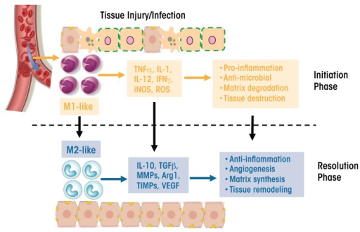 Schematic representation of macrophage plasticity and its involvement in tissue injury. Macrophages recruited to the site of an injury or infection during the initiation phase of the inflammatory reaction have an M1 phenotype. They produce proinflammatory and stress mediators and cytokines, such as tumor necrosis factor α (TNFα), interleukin (IL)-1 and -12, interferon γ (IFNγ), an enzyme generating nitric oxide (iNOS), and reactive oxygen species (ROS). These macrophages have proinflammatory and antimicrobial effects and lead to matrix degradation and tissue destruction. During the resolution phase of the injury, these M1 macrophages are converted into an M2 phenotype with a different cytokine and chemokine repertoire, including IL-10, transforming growth factor β (TGF-β), matrix metalloproteinases (MMPs), arginase 1 (Arg1), tissue inhibitors of metalloproteinases (TIMPs), and vascular epithelial growth factor (VEGF). These M2 macrophages have anti-inflammatory effects and promote blood-vessel formation (angiogenesis), matrix synthesis, and tissue remodeling.