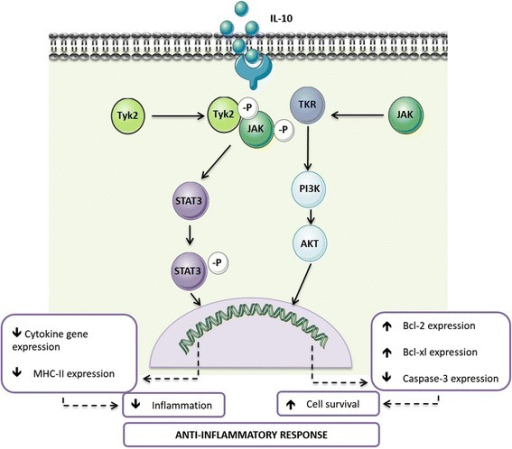 The role of IL-10 receptor signalling in anti-inflammation. Overview of the IL-10R signalling cascade and the main cellular effects triggered by IL-10
