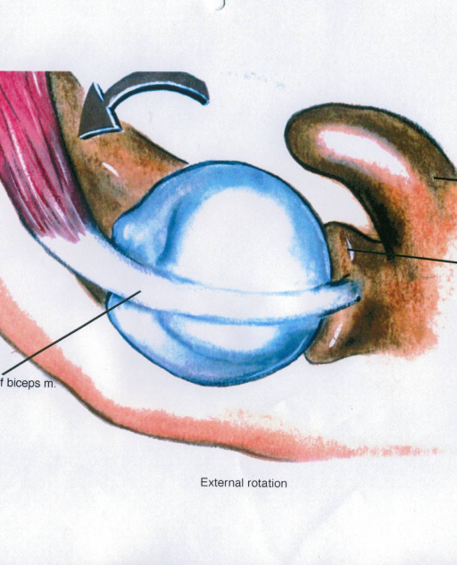 biceps brachii tendon; coracoid process; superior glenoid labrum (glenoid ligament); glenohumeral joint
