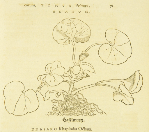 <p>Illustration of a hazelwort plant.</p>