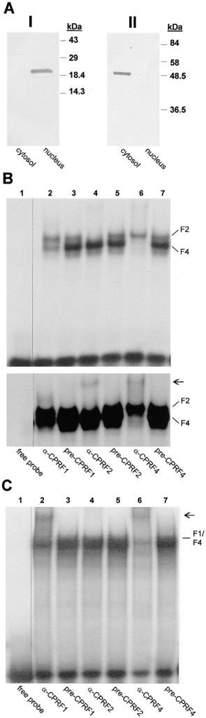 Analysis of the cytoplasmic and nuclear distribution of G-box–binding activities in dark-kept evacuolated  parsley protoplasts. (A) Western blot analysis of cytoplasmic (cytosol) and nuclear (nucleus) extracts probed with  histone 2A/2B (panel I) and  tubulin (panel II) antibodies.  In (I) 25 μg of protein per  lane and in (II) 10 μg of protein per lane were loaded. In  B and C autoradiograms of  EMSSAs with 50 μg per lane  of cytoplasmic and 20 μg per  lane of nuclear extract are  shown. For CPRF/antiserum  interaction test the extracts  were incubated for 10 min on  ice with 1 μl of serum and  the radioactive-labeled G-box  probe before loading the samples on the gel (A and B, lanes  2–7). In B a 12- (top) and a  24-h (bottom) exposure of  the identical shift gel is  shown. In lanes 1, the binding reaction mix contained  neither a serum nor protein  (free probe). CPRF-containing DNA–protein complexes  are marked (F1, CPRF1; F2,  CPRF2; F4, CPRF4). Arrow,  positions of supershifted  DNA–CPRF complex.