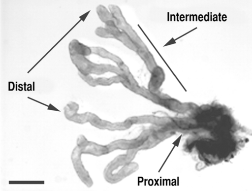 Microdissected prostatic ducts. A segment from a microdissected mouse dorsal prostate showing the distal, intermediate, and proximal regions of prostatic ducts. Bar, 1 mm.