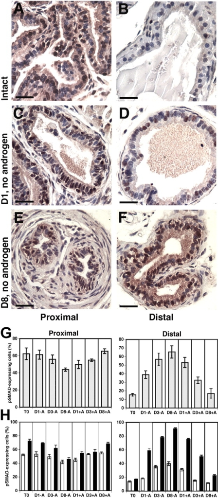 pSMAD 2 and 3 expression are differentially regulated by androgens in proximal and distal cells. (A–F) Paraffin sections of the proximal (A, C, and E) and distal (B, D, and F) regions of ducts examined immunohistochemically for pSMAD2/3-expressing cells in tissues removed from androgen-replete animals (A and B), and after androgen deprivation for 1 d (D1, no androgen; C and D) and 8 d (D8, no androgen; E and F). Bars, 100 μm. (G) Quantification of the number of nuclei positive for pSMAD2/3 expression in proximal and distal cells in the intact prostate (T0), the prostate 1 (D1-A), 3 (D3-A), and 8 d (D8-A) after castration and after 1 (D1+A), 3 (D3+A), and 8 d (D8+A) of androgen administration to animals with involuted prostates. (H) Quantification of the number of basal and luminal nuclei positive for pSMAD2/3 expression in proximal and distal cells in the intact prostate (T0), the prostate 1 (D1-A), 3 (D3-A), and 8 d (D8-A) after castration and after 1 (D1+A), 3 (D3+A), and 8 d (D8+A) of androgen administration to animals with involuted prostates. White bars, basal cells; black bars, luminal cells.