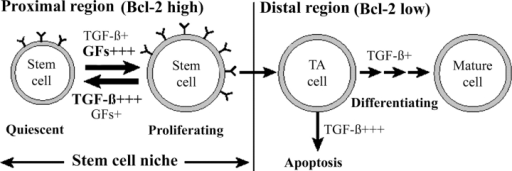 A model for the regional regulation of prostatic homeostasis. A schematic diagram showing that in an androgen-replete prostate high levels of active TGF-β and TGF-β–mediated signaling in the proximal stem cell niche maintain the quiescence of stem cells in this region. In the distal region, low levels of active TGF-β and TGF-β–mediated signaling permit the division of transit-amplifying (TA) cells in this region. After castration, the decrease in androgen levels with concurrent increased levels of TGF-β and TGF-β–mediated signaling distally, lead to apoptosis of cells in this region, with the resulting involution of the prostate gland. Simultaneously, the decrease in TGF-β–mediated signaling in the proximal region sensitizes the cells in this region to mitogenic signals. When androgens are readministered these cells respond to androgen-induced mitogenic cytokines (GFs), thus contributing to prostatic regeneration. Simultaneously, as the distal TGF-β signaling activity declines, the transit-amplifying cells in this region also divide, resulting in regeneration of the gland.
