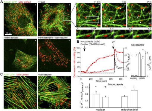 Spatial relationship between MTs, MFs, and mitochondria. (A) H9c2 cells expressing tubulinGFP and mitoDsRed and incubated in the absence (i) or presence (ii) of 10 μM of an MT-stabilizing agent, taxol. (iii–v) Magnified time-lapse images of a peripheral region of the taxol-pretreated cell. Arrowheads mark the mitochondria that move substantially from the previous image. (vi–ix) Further magnified region showing a single mitochondrion sliding along an MT. (x and xi) A naive and a nocodazole-pretreated cell after permeabilization with digitonin. (B) Inhibition of mitochondrial motility and enhancement of the VP-induced mitochondrial [Ca2+] signal in nocodazole-pretreated cells. (top left) Mitochondrial motility and [Ca2+]c in nocodazole-treated cells (solid lines, 23 cells in 10 measurements) as compared with control cells (dashed lines, 22 cells in 11 measurements). The effect of 100 nM VP is also shown. (top right) Resting [Ca2+]c and the peak value of the VP-induced [Ca2+]c signal in control and nocodazole-pretreated (10 μM for 25–30 min) cells. (bottom) Nuclear matrix and mitochondrial matrix [Ca2+] measured in cells expressing both nuclear and mitochondrial pericam using fast, ratiometric imaging (2 ratio/s). Cells were pretreated with nocodazole (10 μM for 25–30 min) or solvent (control) and stimulated by 100 nM VP. The VP-induced initial [Ca2+]c signal was measured (change in nuclear pericam fluorescent ratio at the first point of the [Ca2+] rise, <25% of the maximal change) and the corresponding change in [Ca2+]m (change in mitochondrial pericam fluorescent ratio) was calculated for each cell (mean ± SEM; n = 16). (C) MFs and mitochondria in H9c2 cells expressing actinGFP and mitoDsRed. Cells were incubated in the absence or presence of 10 μM of nocodazole.