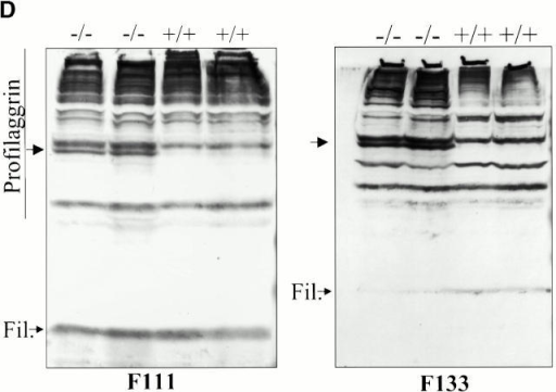Alterations in the expression of SPRRPs (A and C), repetin (B), and of filaggrin (D) in Lor−/− mice. RPA and Western blot analysis were done with littermates from lor+/− intercrosses. (A) RPA analysis of SPRRP expression in the back skin epidermis of E17.5 embryos, newborn, and 4-d-old pups. The genotypes of the animals are indicated above the lanes. β-Actin, cyclophilin, and desmoglein 3 (Dsg3; Koch et al. 1997) probes were used as internal standards. Note that the expression of SPRRP2D and SPRRP2H was increased at all time points examined (for details see text). (B) RPA analysis of repetin expression in the back skin of E17.5 embryos, newborn, and 4-d-old mice. Cyclophilin was used as an internal standard. The expression of repetin was increased in Lor−/− mice at all time points (see text for details). Note that the repetin probe produces two bands, most likely due to a polymorphism in the repetin gene. (C) RPA analysis of SPRRP2H expression in the back skin epidermis of E16.5 embryos. Note similar expression levels in mutant and wild-type mice. (D) Western blot analysis of protein extracts from newborn back skin with antibodies f111 and f133. The genotypes of the animals are indicated above the lanes. An additional profilaggrin band was detected in extracts from Lor−/− mice (arrows). Note that f133 indicates a reduction in the amount of mature filaggrin (Fil.) in Lor−/− mice.