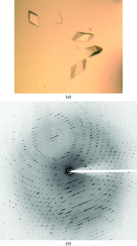(a) Crystal of l-KDA dehydratase. The longest dimension is 0.3 mm. (b) X-ray diffraction pattern.