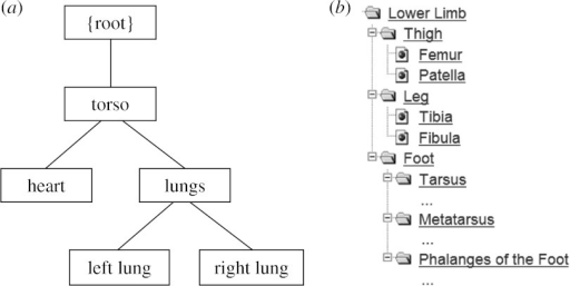 Example model hierarchies from bioengineering: (a) composite model of heart and lungs and (b) hierarchy of skeleton lower limb.