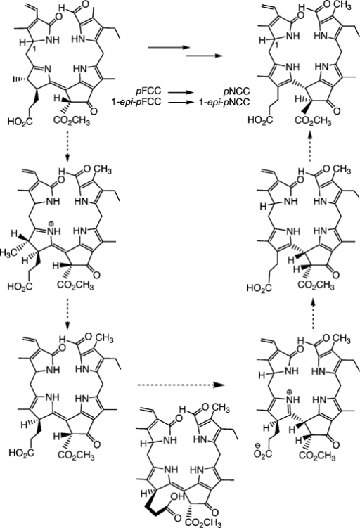 "Isomerization of the epimeric ""primary"" FCCs (pFCC and epi-pFCC) is catalysed stereoselectively by the propionic acid function and leads to ""primary"" NCCs (pNCC and epi-pNCC), as interpreted in terms of the suggested mechanism shown.20,42"