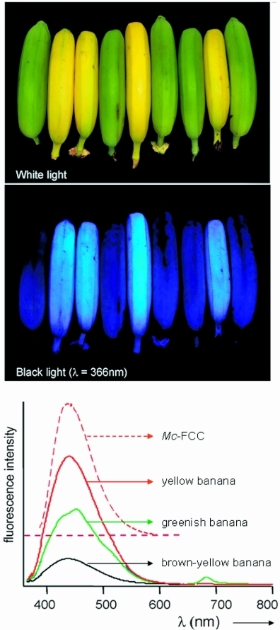Yellow bananas are blue luminescent. Yellow ripe and green unripe bananas pictured (top) under white light or (middle) UV light at 366 nm and (bottom) luminescence spectra of intact ripened bananas, when greenish (green line), bright yellow (red line) and brown-yellow (black line), and of Mc-FCC (in methanol, dashed red line), with excitation at 350 nm.48