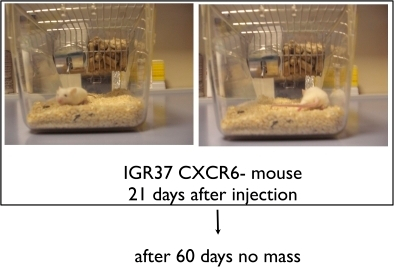 Tumor xenografts derived from and CXCR6- IGR37 cells.5×105 CXCR6- sorted cells were injected subcutaneously in five-week-old NOD-SCID mice (3 mice for each experimental condition). CXCR6- cells did not yield tumors.
