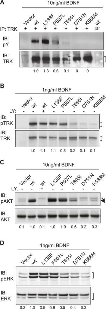 Responsiveness of human cancer-derived TRKB mutants to BDNF.(A) RIE-1 cells expressing wild-type or mutant TRKB were stimulated with 10 ng/ml recombinant BDNF and analyzed for phospho-tyrosine (pY) and total TRK content by immunoprecipitation (IP) and subsequent immunoblot (IB) analysis. (B) RIE-1 cells expressing wild-type or mutant TRKB were stimulated with 1 ng/ml recombinant BDNF and analyzed for phospho (p) and total TRK. (C) RIE-1 cells expressing wild-type or mutant TRKB were stimulated with 10 ng/ml recombinant BDNF and analyzed for phospho- (p) AKT and total AKT. PI3K inhibitor LY294002 was applied to confirm the identity of the pAKT signal indicated by the arrowhead. Asterisk (*) indicates a non-specific band. The samples loaded in lanes two and three serve as controls and were derived from a replicate experiment performed under identical conditions. (D) RIE-1 cells expressing wild-type or mutant TRKB were stimulated with 1 ng/ml recombinant BDNF and analyzed for phospho- (p) ERK and total ERK. For all panels, the numbers underneath indicate quantification of the phospho-specific signals, normalized to the total signals and relative to those of wild-type TRKB.