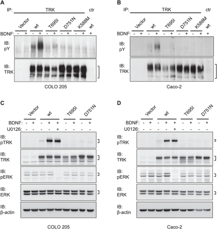 BDNF responsiveness of human colon cancer-derived TRKBT695I and TRKBD751N expressed in colon cancer cells.(A) COLO 205 cells and (B) Caco-2 cells expressing wild-type or mutant TRKB were stimulated with 10 ng/ml recombinant BDNF and analyzed for phospho-tyrosine (pY) content by immunoprecipitation (IP) and subsequent immunoblot (IB) analysis. (C) Cell lysates of COLO 205 cells from (A) and, (D) lysates of Caco-2 cells from (B) were analyzed for phospho (p) and total TRK and (p)ERK. The MEK inhibitor U0126 was applied to confirm the identity of the pERK signals. β-actin serves as loading control.