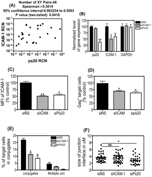 siRNA-mediated knockdown of ps20 inhibits conjugate and multiple conjugate formation more effectively than siRNA-mediated knockdown of ICAM-1. (A) ps20 and ICAM-1 mRNA levels were measured in a selection of ps20high and ps20inter/low cells at 4 different time points. Data show a two-tailed non-parametric Spearman's r correlation of all data points. CD4 T-cell Jwt ps20inter were treated with either; a non-silencing (NS), ICAM-1 or WFDC1/ps20-silencing siRNA pool for 6 days. (B) After siRNA treatment the expression of ICAM-1, ps20 and GAPDH mRNA was analyzed by qRT-PCR and relative expression to β-actin was measured. Normalized relative expression was calculated in reference to siNS control. Data represent the mean of three replicate assays. (C) Surface expression of ICAM-1 in siRNA treated cells is shown as assessed by standard immunofluorescence. Normalized MFI was calculated in reference to siNS control. Data represent the mean of three replicate assays (D) 8 × 104 NS, ICAM-1, or ps20 siRNA-treated WT Jurkat cells were dye-labelled and co-cultured with donor 40% 2044-infected donor cells at a T:D ratio of 1:0.2. Mean percentage of Gag+ target cells after 4-hour co-culture is shown. Normalized % of Gag+ target cells was calculated in reference to siNS control. Data represent the mean of three replicate assays. (E) 5 × 105 siRNA treated cells were dye-labelled and co-cultured with 5 × 105 60% 2044-infected donor cells. Co-cultures were incubated for 1 hour on Poly-L-lysine coated glass cover slips, then fixed and stained with a FITC anti-Gag (Green) Ab. Conjugates and MCs were assessed as before in at least 500 random target cells per population across triplicate experiments. (F) The panel depicts the mean conjugate interface diameter (μM) between siRNA treated Jurkat cells and HIV-1-infected donor cells. A total of at least 30 conjugates per population were measured across triplicate experiments. Asterisk denotes statistically significant data as calculated using a paired t-test (*P ≤0.05) in relation to NS siRNA control.