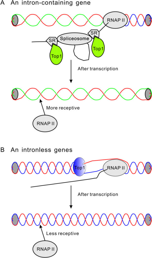 Schematic illustration of the effect of splicing on DNA topology and accessibility to RNA polymerase II. (A) SR proteins inhibit the cleavage and religation activity of DNA topoisomerase I (Top1). Therefore, after one round of transcription, DNA becomes less twisted and more accessible to RNA polymerase II (RNAP II). (B) In an intronless gene, Top1 actively removes the negative supercoiling generated by transcription. Transcription does not change the topological status of an intronless gene. For simplicity, nucleosomes are not shown.