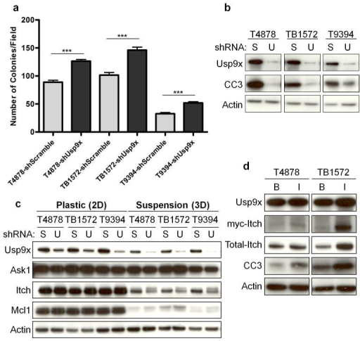 Usp9x regulates PDA cellular transformation and Itcha–b, Usp9x knock-down promotes anchorage-independent growth in three mPDA cell lines (a), and decreases anoikis denoted by cleaved caspase 3 (CC3) (b). The mean and s.e.m. of one representative experiment performed in triplicate are shown in (a) (***, p<0.001; Mann Whitney test). (S: Scramble; U: Usp9x). c, Usp9x knock-down decreases Itch but not Ask1 or Mcl1. Changes in Itch are more evident in suspension cultures, and the slower migrating band has the expected mobility of mono-ubiquitinated Itch. d, Ectopic Itch induces anoikis. (B: pBabe-neo; I: pBabe-neo-myc-Itch).