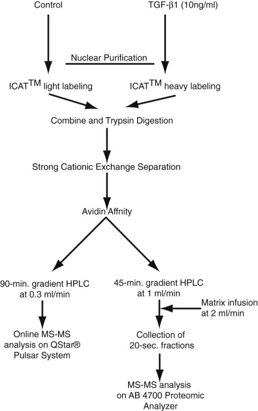 Schematic illustration of the workflow. Cell nuclei from TGF-β1 stimulated HFL-1 cells were isolated and disrupted by sonication followed by ICAT labeling and trypsin digestion. The tryptic peptides were separated by strong cation exchange chromatography and the ICAT labeled (cysteine-containing) peptides were affinity purified on an avidin column. The captured fractions were split in two. Half of the material was analyzed by online ESI LC-MS/MS on a Qstar(R) Pulsar System and half of the material was analyzed in HPLC coupled to an off-line MALDI target fraction collector and analyzed on AB 4700 Proteomics Analyzer.