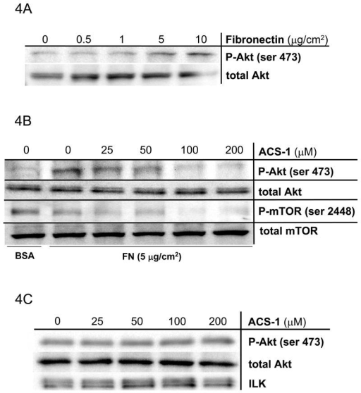 ACS-1 inhibits Akt activation in FN-stimulated A549 cells. (A) FN, in a concentration-dependent manner, activates Akt in A549 cells. Serum starved A549 cells were plated into Petri dishes coated with differing amounts of FN and incubated for 2 hours. (B) ACS-1 inhibits FN-induced Akt and mTOR activation. ACS-1 treated A549 cells seeded onto FN-coated dishes and incubated for 2 hours. (C) ILK was immunoprecipitated from cells plated on FN in the presence of ACS-1 and ILK kinase activity was determined by recombinant Akt phosphorylation (ser 473).
