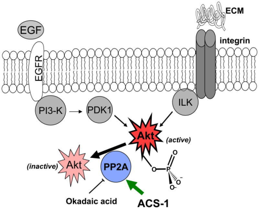 Scheme of protein interactions. Akt is activated by convergent pathways in human cancers. ACS-1 inhibits Akt activation by increasing the activity of PP2A and not by altering EGFR or integrin signaling.