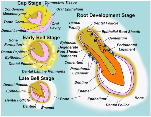 diagram illustrating normal tooth formation in the earl open i