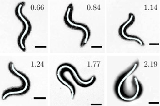 Various shapes of crawling C. elegans.The corresponding model representations are shown as white lines along the backbone of worms. The experimental images were obtained at 20°C on 2 wt% agar. The ratio  for all the shapes are also shown.