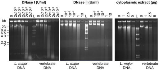 L. major and vertebrate DNA differ in their DNAse sensitivity.DNA degradation was analysed by electrophoresis on a 0.7% agarose gel, stained by EtBr. Increasing amounts of DNAse I (left), DNase II (middle) or cytoplasmic extract from C57BL/6 BMDCs (right) was added to a same amount of full-length genomic L. major or vertebrate DNA (1 µg). L stands for the Kb ladder (λDNA-Hind III). The data represent one representative of three experiments.