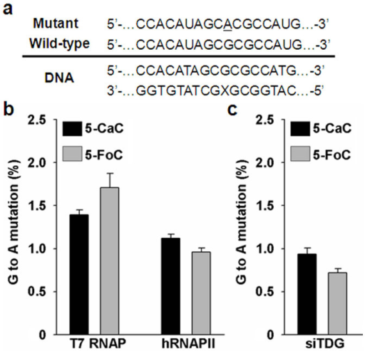 The effects of 5-FoC and 5-CaC on transcriptional fidelity.(a) The sequences of wild-type and mutant (G→A) transcripts are indicated above the double-stranded DNA construct. The underlined base (i.e., A) indicates an adenosine misincorporation opposite a 5-FoC or 5-CaC. (b). The mutation (G→A) frequencies of 5-FoC and 5-CaC in in vitro transcription systems using T7 RNAP and hRNAPII. (c) The mutation (G→A) frequencies of 5-FoC and 5-CaC in 293T cells treated with siRNA targeting the TDG gene (siTDG).