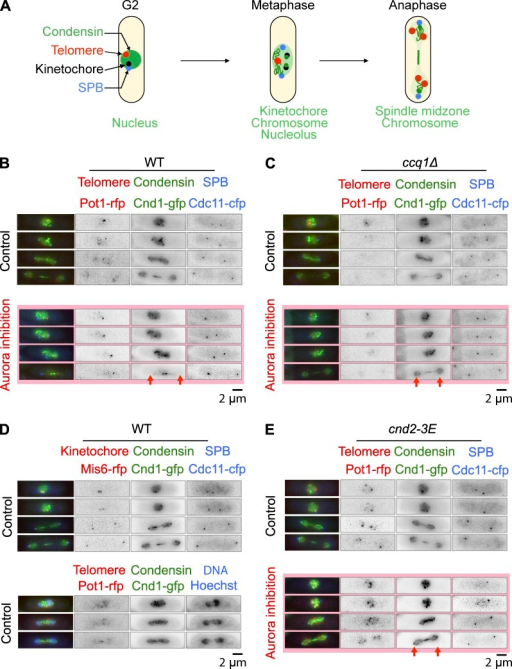 Deletion of Ccq1 rescues cell death after Aurora inhibition by promoting the loading of condensin on chromosome arms. (A) Schematic representation illustrating the different localization of condensin throughout mitosis. (B) Single cell analysis of ark1-as pot1-rfp cnd1-gfp cdc11-cfp cells imaged in the presence or absence of 10 µM Napp1 (Aurora B inhibition). (C) Single cell analysis of ccq1Δ ark1-as pot1-rfp cnd1-gfp cdc11-cfp cells imaged in the presence or absence of 10 µM Napp1 (Aurora B inhibition). (D) Single cell analysis of ark1-as mis6-rfp cnd1-gfp cdc11-cfp or ark1-as pot1-rfp cnd1-gfp cdc11-cfp cells imaged in the presence of Hoechst. (E) Single cell analysis of cnd2-3E ark1-as pot1-rfp cnd1-gfp cdc11-cfp cells imaged in the presence or absence of 10 µM Napp1. In B, C, and E, the red arrows highlight the presence or absence of condensin localization to chromosome arms.