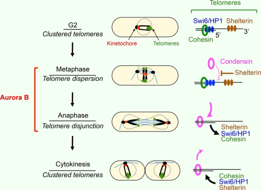 Model summarizing the different state in telomere clustering throughout mitosis. Schematic representation illustrating the regulation of telomere dissociation throughout mitosis. (left) Telomere foci undergo separation in two discrete steps. Telomere cluster dispersion (up to 6 dots) occurs during metaphase, before chromosome segregation, whereas sister chromatid telomere disjunction (up to 12 dots) is achieved during mid-anaphase. Finally, telomere reclustering occurs during cytokinesis (subsequent G1/S phase). Aurora B is required for telomere dispersion and disjunction. (right) At the level of telomeres, Aurora promotes in metaphase the delocalization of several telomere/subtelomere components, such as shelterin components (brown), Swi6/HP1 (blue), or cohesin Rad21 (green). At anaphase, Aurora favors the loading of condensin (pink). Our model suggests that the delocalization of telomere components such as the shelterin protein Ccq1 promotes telomere dispersion and Aurora-dependent loading of condensin to chromosome arms.
