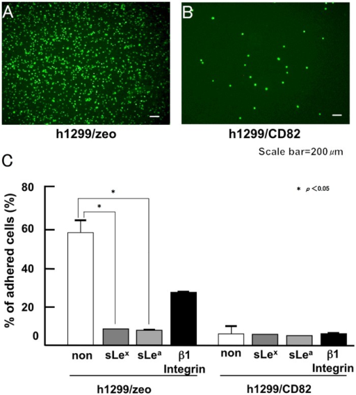 Inhibitory effect of CD82 on cancer cell adhesion to a HUVEC monolayer culture.Fluorescently labeled h1299/zeo or h1299/CD82 cells (4.0 × 104 cells/well) were applied to a HUVEC monolayer culture and allowed to adhere at 37°C. Adhered cells were quantified after 30 min. Adhered h1299/zeo (A) and h1299/CD82 (B) cells and the effect of function-perturbing antibodies on cell adhesion to the HUVEC monolayer were analysed (C). h1299 cells were pre-treated with 5 μg/ml of the indicated antibodies and then applied to the HUVEC monolayer. Experiments were performed in triplicate and the number of adhered cells was averaged. Bars indicate the standard deviation.