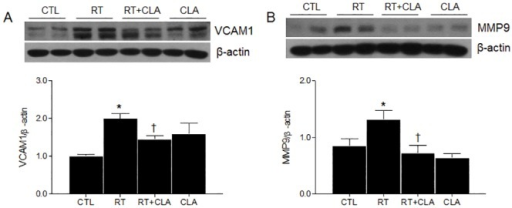 Effects of clarithromycin on VCAM-1 and MMP-9 expression levels in irradiated lungs of mice.(A) VCAM-1 expression in lungs of control (CTL), radiation only (RT), radiation + clarithromycin (RT+CLA), and clarithromycin only (CLA) animal groups. (B) MMP-9 expression in lungs of respective groups. Densitometry values were normalized to β-actin and data are presented as mean ± SEM (n = 2–6 mice per group). *p<0.05 vs CTL mice; †p<0.05 vs RT mice.