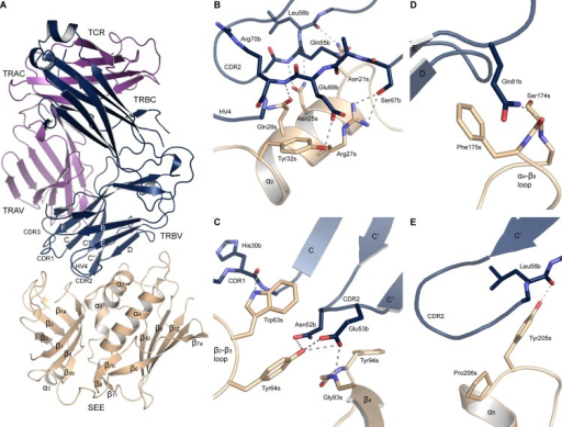 X-ray structure of the SEE-TCR complex.(A) Overall structure of the complex, with SEE in beige, the TCR α-chain in purple and the β-chain in blue. (B) Close-up of the SEE α2-helix and contacting residues in TCR, (C) the hydrophobic patch, (D) the α4-β9 loop, and (E) the upper part of the α5-helix. Hydrogen bonds are marked as dotted lines.