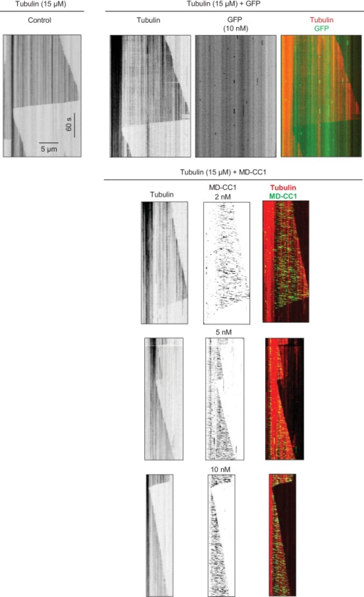 Kymographs illustrating in vitro dynamics of MTs grown in the presence of 15 µM tubulin in the absence and presence of 10 nM purified GFP or 2, 5 and 10 nM KIF21B-MD-CC1-GFP.Kymographs were generated from the movies of 600 frames (stream acquisition, exposure time 500 ms) using Photometrics Evolve 512 EMCCD camera (Roper Scientific).DOI:http://dx.doi.org/10.7554/eLife.24746.009