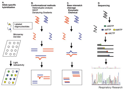 (a) Several methods to detect specific nucleotide changes (polymorphisms) exist. One method relies on hybridization of oligonucleotides of known sequences to target DNA. The target DNA is generally obtained using the polymerase chain reaction and specific primers. Allele-specific oligonucleotides are then used to detect single base changes in the DNA samples. Typically, target DNA is immobilized on a solid support and denatured. Labeled (radioactive or fluorescent) oligonucleotides are then allowed to anneal. Complementary sequences bind while noncomplementary sequences do not. Sequences that match the oligonucleotide are detected by fluorescence or when the oligonucleotide is radiolabeled by exposure to X-ray film. (b) Another means of rapid screening for DNA variations relies on detecting conformational changes in secondary structure caused by the nucleotide sequence alteration. The change in structure can be detected in a number of ways including denaturing gradient electrophoresis and denaturing gradient high-performance liquid chromatography. SSCP, single-stranded conformational polymorphism. (c) Base mismatch methods begin with creating heteroduplexes between wild-type or normal DNA and target DNA. Heteroduplexes with mismatches are detected by enzymatic or chemical cleavage, with the cleavage products resolved by electrophoresis. (d) DNA sequencing can also be used to detect polymorphisms but is the most labor intensive. The method involves synthesis of DNA using DNA polymerase. Dideoxynucleotides are included in the synthesis mix to randomly terminate synthesis at each nucleotide in the sequence. Generally, each dideoxy nucleotide is labeled with a flourescent tag. Terminated strands are separated by denaturing gel or capillary electrophoresis and are detected using fluorescence.