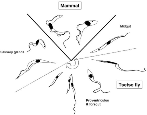 developmental cycle of trypanosoma brucei  diagram illu
