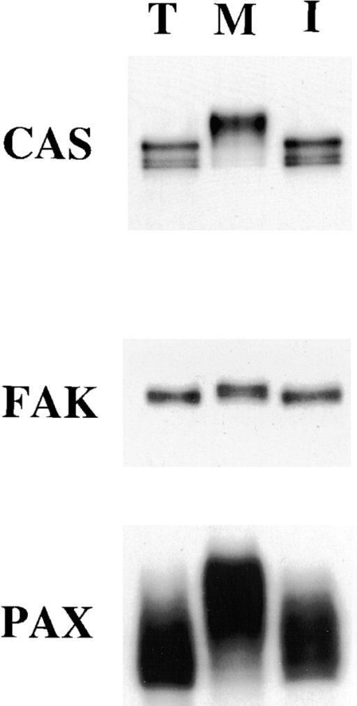 Mitosis-specific modification of CAS, FAK, and paxillin. CAS,  FAK, and paxillin (PAX) were immunoprecipitated under condition I from  trypsinized (lane T), mitotic (lane M),  and interphase (lane I) cells and immunoblotted with the specific antibodies  against each protein. All three proteins  show slower electrophoretic mobility  during mitosis, indicating that FAK,  CAS, and paxillin undergo mitosis-specific modification.