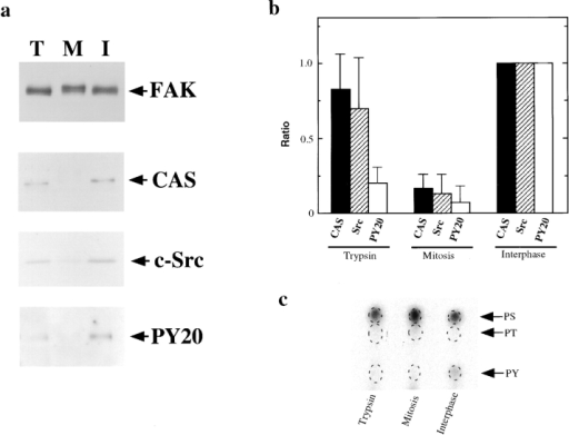Dissociation of a FAK/ CAS/c-Src complex during mitosis. (a) FAK was first immunoprecipitated under condition II  from trypsinized (lane T), mitotic (lane M), and interphase  (lane I) cells, and analyzed by  immunoblotting with anti-FAK,  anti-CAS, and anti-c-Src. Phosphotyrosine levels of immunoprecipitated FAK were examined by PY20. Note that FAK  from mitotic cells showed much  reduced association with CAS or  c-Src. (b) Quantitative analyses  of the association of CAS and  c-Src with FAK, and phosphotyrosine levels of FAK immunoprecipitated from trypsinized,  mitotic, and interphase cells. The  CAS and c-Src association as  well as FAK phosphotyrosine  levels were expressed as ratios to  those of interphase FAK. Data  were obtained from five independent experiments. (c) Phosphoamino-acid analyses of FAK  immunoprecipitated from 32P-labeled, interphase, mitotic, and  trypsinized cells. PS, phosphoserine; PT, phosphothreonine;  PY, phosphotyrosine.