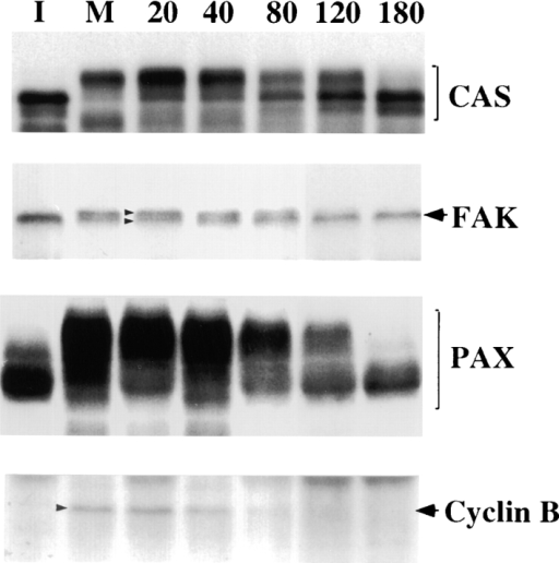 Reversal of mobility shifts of FAK, CAS, and paxillin  (PAX) during post-mitotic cell spreading. Mobility shifts were  examined by immunoblotting of total cell lysates prepared from  interphase (I) or mitotic (M) cells, or cells released from mitotic  arrest (numbered lanes, n = min removed from nocodazole). Total cell lysates were blotted on PVDF membranes, and the membranes were probed with the antibodies against CAS, FAK, paxillin, or cyclin B, as indicated. Cyclin B1 immunoblot is shown as  an indicator of metaphase–anaphase transition. Note that CAS,  FAK, and paxillin show reversal of mobility shifts during 80–180  min after the release of mitotic arrest, a time span corresponding  to post-mitotic cell spreading.