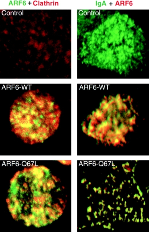 Colocalization of ARF6, clathrin, and IgA in cells expressing dynamin-I K44A. Left, Cells were infected with viruses for dynamin-I K44A (100 pfu/cell), and either ARF6–WT or ARF6–Q67L. Cells were treated for 5 min at 4°C with 120 μg/ml digitonin 10 to extract cytoplasmic clathrin, washed three times with cold PBS, fixed, and processed for immunofluorescence to detect ARF6 and endogenous clathrin. Right, Cells were infected with viruses for pIgR, dynamin-I K44A, and either β-gal, ARF6–WT, or ARF6–Q67L. IgA was bound to the AP PM for 1 h at 4°C. Cells were warmed to 15°C for 10 min. Unpermeabilized cells were stained for IgA, then cells were extracted with digitonin, fixed, permeabilized, and ARF6 stained.