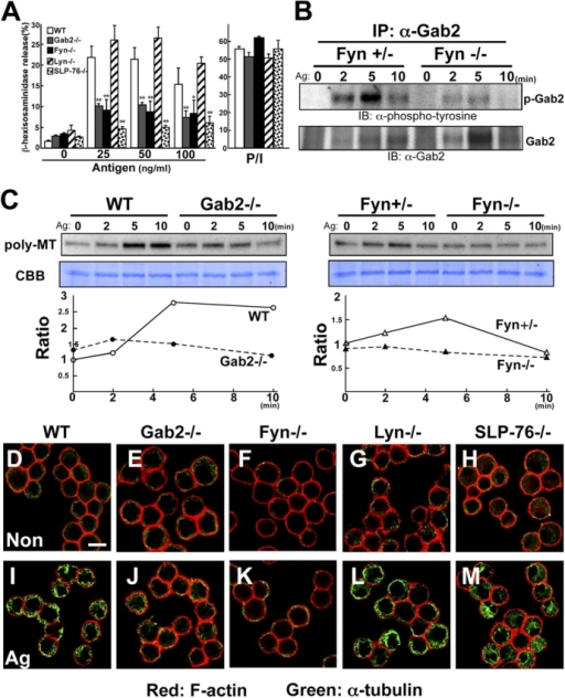 The Fyn/Gab2-mediated pathway controls microtubule formation. (A) Fyn and Gab2 are required for mast cell degranulation. Either wild-type, Gab2-, Fyn-, Lyn-, or SLP-76–deficient BMMCs were sensitized with IgE and then stimulated with various concentrations of DNP-HSA (Antigen) as indicated for 30 min. β-Hexosaminidase release was measured for indication of mast cell degranulation. The values indicate means ± SD of three separate experiments. Statistical analysis was performed using the t test. Single asterisk indicates P < 0.05 vs. wild-type BMMCs. Double asterisk indicates P < 0.01 vs. antigen-induced wild-type BMMCs. (B) Fyn-dependent Gab2 phosphorylation. Either wild-type or Fyn-deficient BMMCs were sensitized with IgE and then stimulated with 100 ng/ml DNP-HSA. Immunoprecipitates of anti-Gab2 antibody were probed with anti-phosphotyrosine (top) or anti-Gab2 antibody (bottom). (C) FcɛRI stimulation increases polymerization of tubulin. Either wild-type, Gab2-, or Fyn-deficient BMMCs were sensitized with IgE and stimulated with 100 ng/ml DNP-HSA for the times indicated. Stimulated cells were lysed in 0.1% Triton X-100. Triton X-100–insoluble fraction was subjected to Western blot analysis using anti-α-tubulin antibody. Lysate from each of the same samples were stained with CBB for loading control. One representative of three experiments is shown for each panel. Ratio is indicated as relative intensity (versus intensity in unstimulated cells). Poly-MT, polymeric tubulin. (D–M) Fyn and Gab2 are required for FcɛRI-induced microtubule formation. Either wild-type, Gab2-, Fyn-, Lyn-, or SLP-76–deficient BMMCs were sensitized with IgE and then stimulated with vehicle (D–H) or DNP-HSA (I–M) for 5 min. Stimulated cells were processed for double staining with phalloidin-rhodamine (red fluorescence) and antibody to α-tubulin (green fluorescence). Representative images are shown. Bar, 10 μm.