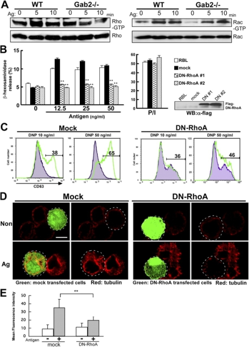RhoA is required for FcɛRI-induced microtubule formation and degranulation. (A) FcɛRI stimulation induces RhoA and Rac activation. RhoA and Rac activity were determined by Rhotekin RBD and PAK CRIB pull-down assay, respectively. Either wild-type or Gab2-deficient BMMCs were sensitized with IgE and then stimulated with DNP-HSA (Ag) for the times indicated. Cell lysates were incubated with GST-Rhotekin RBD (left) or GST-PAK CRIB (right) fusion protein. RhoA-GTP and Rac-GTP forms were detected by anti-RhoA and anti-Rac antibodies, respectively. One representative of three experiments is shown for each panel. (B) RhoA is involved in mast cell degranulation. RBL-2H3 cells were stably transfected with Flag-RhoA N19 (DN-RhoA) and pcDNA3 (mock). DN-RhoA or mock-introduced cells were sensitized with 0.5 μg/ml IgE for 12 h, and stimulated with various concentrations of DNP-HSA (Antigen) as indicated for 30 min. β-Hexosaminidase release was measured for indication of mast cell degranulation. The values indicate means ± SD of three separate experiments. Statistical analysis was performed using the t test. Double asterisk indicates P < 0.01 vs. mock-introduced RBL-2H3 cells. Expression of Flag-tagged DN-RhoA in RBL-2H3 stable transfectants were visualized immunoblotting with anti-Flag antibodies (right). (C) RhoA is required for FcɛRI-induced increase of cell surface expression of CD63. BMMCs transfected with retroviral vector encoding IRES-GFP (Mock) or IRES-GFP Flag-RhoA N19 (DN-RhoA) were sensitized for 6 h with IgE. Cells were stimulated with either vehicle (gray histogram) or DNP-HSA (green line) for 10 min. Antigen-induced surface expression of CD63 was detected with anti-CD63 antibody, followed by FACS analysis. The number in the figures indicates the percentage of CD63-positive cells. (D) RhoA controls FcɛRI-mediated microtubule formation. BMMCs transfected with retroviral vector encoding IRES-GFP (Mock) or IRES-GFP Flag-RhoA N19 (DN-RhoA) were sensitized with IgE for 6 h. Cells were stimulated with DNP-HSA for 5 min. Cells were stained with antibody to α-tubulin (red fluorescence). The region delineated by the dotted line indicates mock-transfected cells (left) and RhoA N19–transfected cells (right), respectively. Representative images are shown. Bar, 10 μm. (E) Quantification of effect of DN-RhoA on microtubule formation BMMCs transfected with retroviral vector encoding IRES-GFP (mock) or IRES-GFP Flag-RhoA N19 (DN-RhoA) were sensitized with IgE for 6 h. Cells were stimulated with DNP-HSA for 5 min. Cells were stained with antibody to α-tubulin (red fluorescence). Mock or DN-RhoA transfected BMMCs were selected and mean fluorescence intensity of them was measured by Leica confocal software version 2.5. Statistical analysis was performed using the t test. Double asterisk indicates P < 0.01 vs. mock-infected BMMCs.