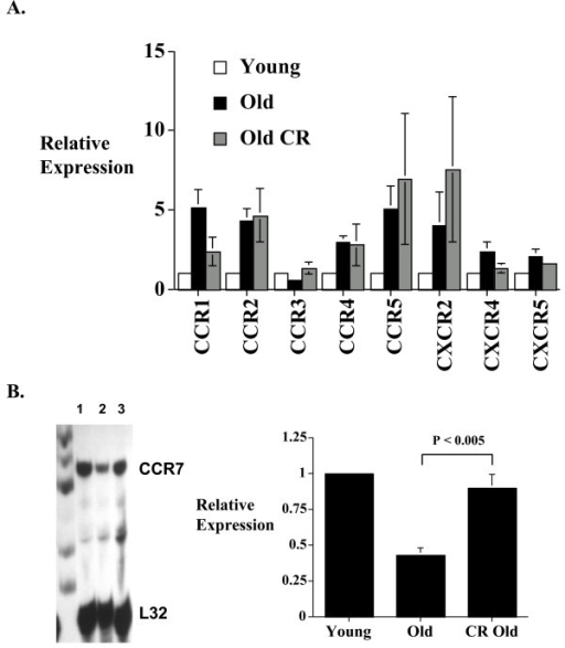 The effect of caloric restriction on CD8+ T cell chemokine receptor expression in aging. Ribonuclease protection assays (RPAs) were done using RNA from freshly isolated splenic CD8+ T cells from young (3–4 months), old (18–20 months), and caloric restricted old (18–20 months) mice in groups of 5 animals. Density of the bands was quantified using a phosphoimager. (A) Histogram showing the composite data of 4 experiments (total 20 animals in each condition). The results represent the mean ± SEM of the relative CD8+ T cell chemokine receptor gene expression level of old and old caloric restricted mice compared to those from the young cohort (arbitrarily defined as equal to 1). (B) CCR7 expression was also determined using a custom CCR7 RPA probe. The left panel is a representative autoradiograph (lane 1 = young CD8+ T cells; lane 2 = old CD8+ T cells; lane 3 = caloric restricted old CD8+ T cells). The right panel represents the composite data of 3 RPAs with a total of 15 animals in each group. Results are presented as mean ± SEM. CR = caloric restricted. Gel loading is corrected with L32 expression.