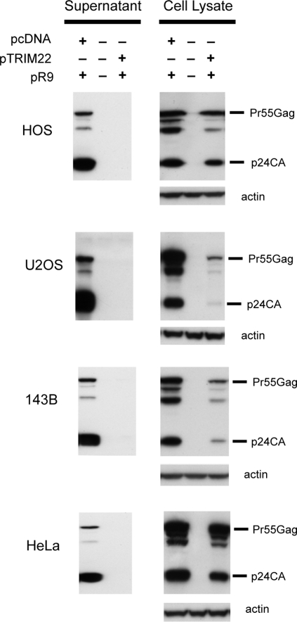 TRIM22 inhibits accumulation of viral particles in cell supernatants.HOS, U2OS, 143B and HeLa cells were studied (labeled to the left of the gels). Cells were co-transfected with pR9 (encoding full-length HIV-1) and pTRIM22 or the control empty expression vector pcDNA3.1. After 48 hours, Western blots were performed on the supernatants (left panels) and cell pellets (right panels) using p24CA antibodies.