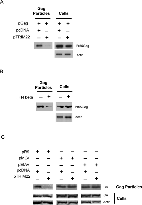 TRIM22 expression blocks release of HIV-1 Gag-only particles.A) Cells were transfected with pGag and pTRIM22 or pcDNA. Cells and Gag-only particles released into the supernatant were isolated 24 hours after transfection and analyzed by Western blotting using an anti-p24CA or anti-actin antibody. B) Cells were pre-treated for 16 hours with 1000 units/ml of IFNβ followed by transfection with pGag. Cells and Gag-only particles released into the supernatant were isolated after 24 hours and analyzed by Western blotting using an anti-p24CA antibody. C) Cells were co-transfected with pR9 or a plasmid expressing MLV GagPol (pMLV) or an EIAV packaging vector (pEIAV) with or without TRIM22 for 24 hours. Cells and Gag-containing particles were isolated and analyzed by Western blotting using an anti-capsid antibody.