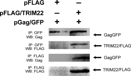 TRIM22 interacts with Gag.HOS-CD4/CXCR4 cells were co-transfected with pGag-GFP and pFLAG-TRIM22 (or empty vector control pFLAG) and immunoprecipitated with anti-GFP or anti-FLAG. Precipitated Gag and TRIM22 were detected by Western blotting using p24CA or FLAG antibodies.
