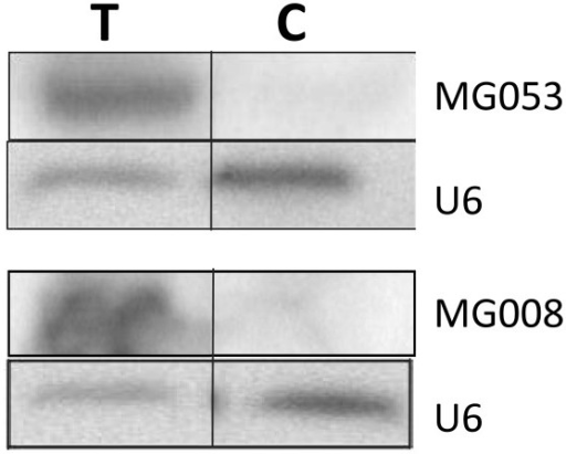 Functional validation of precursors MG008-X and MG053-01. Detection of miRNAs MG008 and MG053 after transfection of COS-7 cell with expression vectors vMG008 and vMG053 by Northern blot analysis. RNAs were extracted from cells transfected with expression vectors (T) and with the control empty vector (C), separated onto a 15% denaturing PAGE and transferred onto a nylon membrane Blots were hybridized with miRNA antisense oligonucleotides and a U6 probe used as an internal loading control.